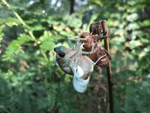 The emergence of a cicada.