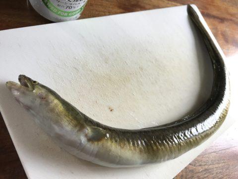 Eel fishing in Amami Oshima.