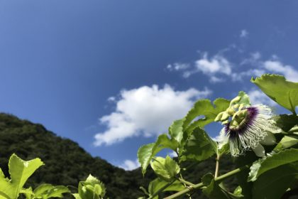 Liliko'i flower.