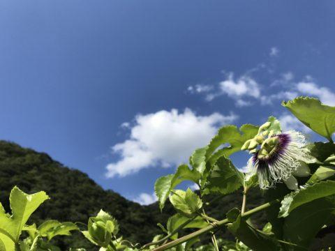 Lilikoi flower.