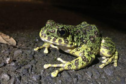 Ishikawa's frog, the most beautiful frog in Japan.