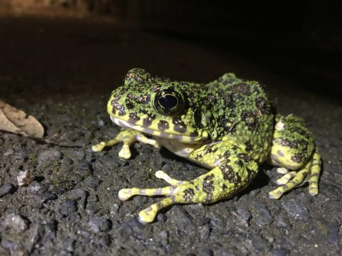 Ishikawa's frog, the most beautiful frog in Japan.